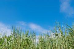 Caña de azúcar con el cielo Imagenes de archivo