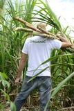 Caña de azúcar del granjero que lleva orgánico Imágenes de archivo libres de regalías