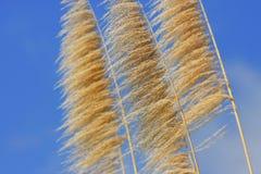 Caña de azúcar en el cielo Imagen de archivo