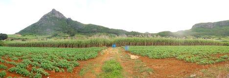 Caña de azúcar panorámica en Isla Mauricio Imagen de archivo libre de regalías