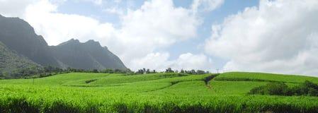 Caña de azúcar panorámica en Isla Mauricio Imágenes de archivo libres de regalías