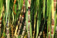 Caña de azúcar verde Fotos de archivo
