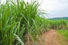 Caña de azúcar y camino a la planta. Fotos de archivo libres de regalías