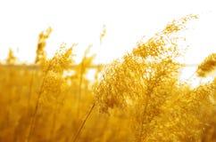 Caña de oro Imagen de archivo libre de regalías