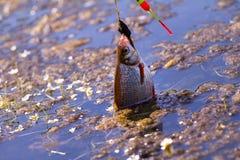 Caña de pescar activa de la brema de los pescados que pesca con caña Foto de archivo