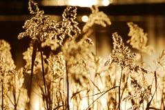 Caña del otoño Imagen de archivo libre de regalías
