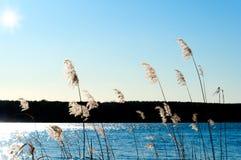 Caña en la orilla de un lago Imágenes de archivo libres de regalías