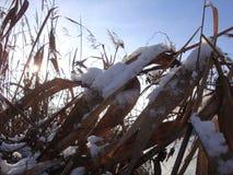 Caña marrón seca del río debajo de la nieve en rayos soleados del invierno Borlas de lámina hermosas fotos de archivo libres de regalías