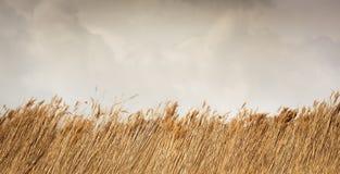 Caña o paja seca con el cielo y las nubes Fotografía de archivo