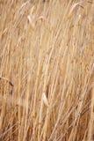 Caña seca, bastón. Fotos de archivo