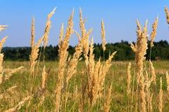 Caña seca con el fondo rural del paisaje Imagen de archivo libre de regalías