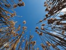 Caña seca contra el cielo azul en waterlands imagenes de archivo