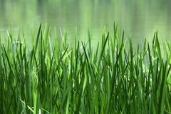 Caña verde en un lago Fotografía de archivo