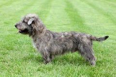 Cañada irlandesa de Imaal Terrier en la hierba verde imágenes de archivo libres de regalías