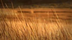 Cañas anaranjadas secas que soplan en un campo abierto metrajes