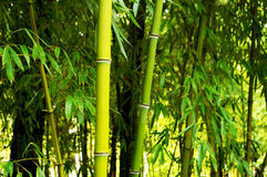 Cañas de bambú Foto de archivo