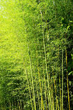 Cañas de bambú Fotografía de archivo libre de regalías