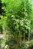 Cañas de bambú Imagen de archivo