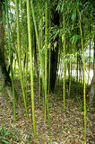 Cañas de bambú Fotos de archivo libres de regalías