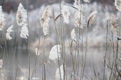 Cañas de la hierba Fotografía de archivo