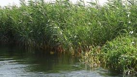 Cañas de la hierba que crecen en el río grande almacen de video