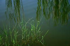 Cañas de la orilla del agua, reflexiones imagen de archivo