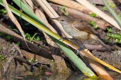 Cañas de Lesser Swamp Warbler Perched On Imagen de archivo