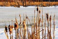 Cañas del invierno en puesta del sol Foto de archivo