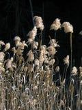 Cañas del pantano Fotografía de archivo libre de regalías