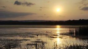Cañas en cama de lago en la puesta del sol almacen de video