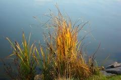 Cañas en el agua Imagen de archivo
