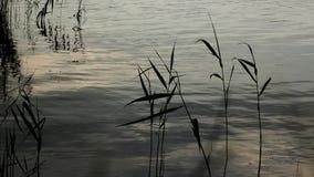 Cañas en el agua almacen de metraje de vídeo