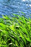 Cañas en el borde del agua Fotos de archivo libres de regalías