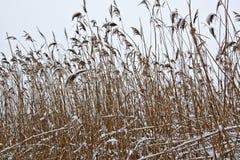 Cañas en el invierno Fotografía de archivo