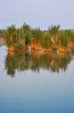 Cañas en el lago Fotografía de archivo