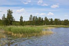 Cañas en el lago del verano Foto de archivo libre de regalías