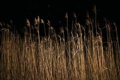 Cañas en el lago en la noche en invierno y fondo de la nieve que cae foto de archivo