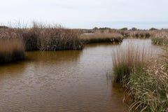 Cañas en el pantano Fotografía de archivo