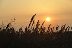 Cañas en el sol foto de archivo