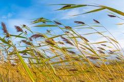 Cañas en el viento Fotografía de archivo