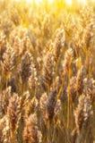 Cañas en la luz del sol Imagen de archivo