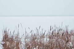 Cañas en la nieve en la orilla de un río congelado Imágenes de archivo libres de regalías