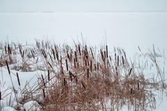 Cañas en la nieve en la orilla de un río congelado Imagen de archivo