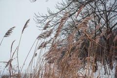 Cañas en la nieve en la orilla de un río congelado Fotos de archivo