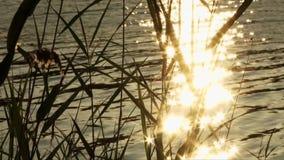 Cañas en la orilla del lago en el amanecer metrajes
