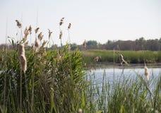 Cañas en la orilla del río, en un día de verano fotos de archivo