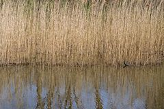 Cañas en los bancos del lago en la granja de Ana en las cercanías de Hilversum Imágenes de archivo libres de regalías