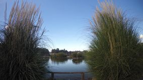 Cañas en naturaleza y cielo claro almacen de video