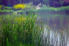 Cañas en orilla del lago Fotos de archivo