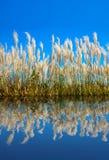 Cañas enormes debajo del cielo azul Imagen de archivo libre de regalías